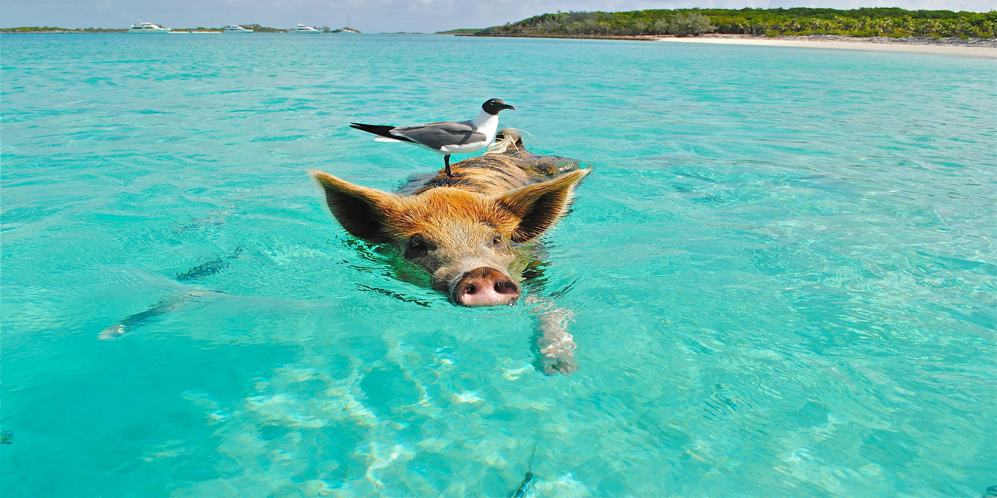 staniel-cay-swimming-pig-seagull-fish-66258_edit